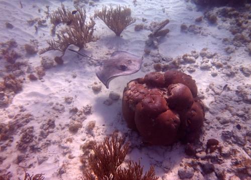 raie patate corail.JPG