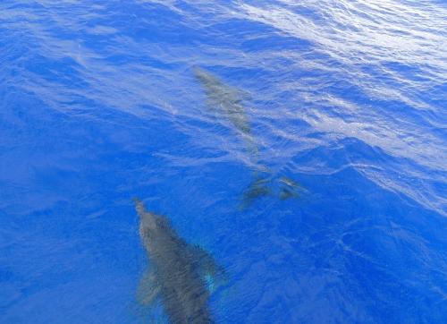 Premiers dauphins 15 juin.JPG