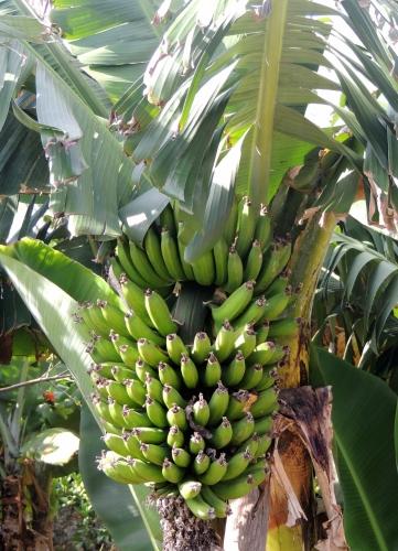 bananes2.JPG