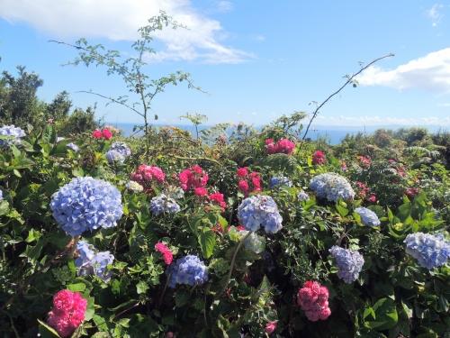 Hortensias et roses.JPG
