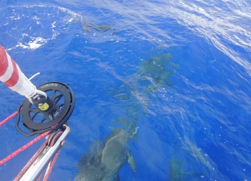 Premiers dauphins 2 15 juin.JPG